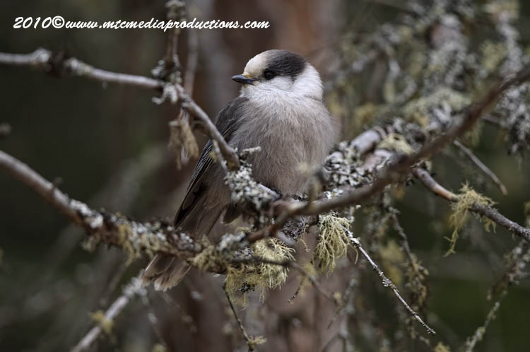 Gray Jay Picture-117