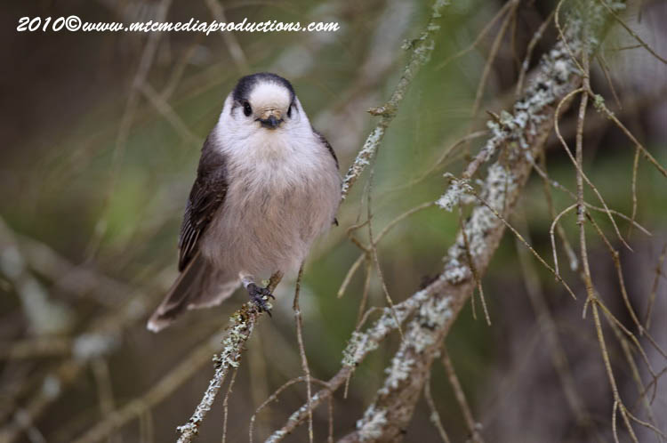 Gray Jay Picture-118