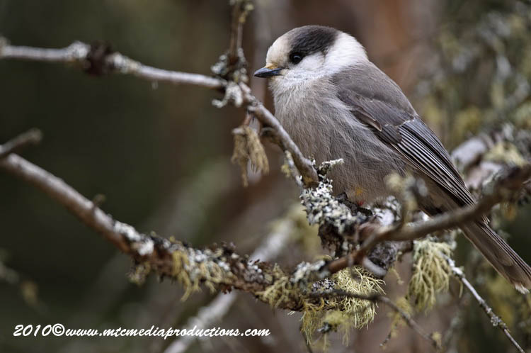 Gray Jay Picture-119