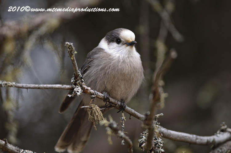 Gray Jay Picture-120