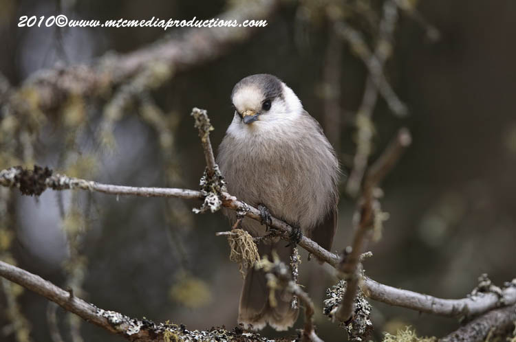 Gray Jay Picture-121