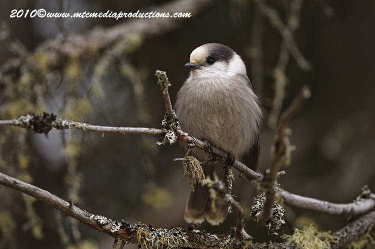 Gray Jay Picture-122