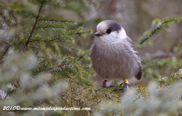 Gray Jay Picture-123