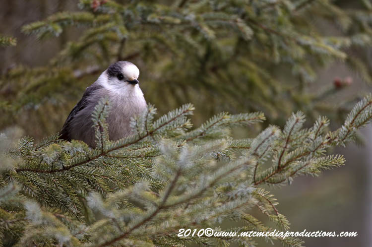 Gray Jay Picture-124