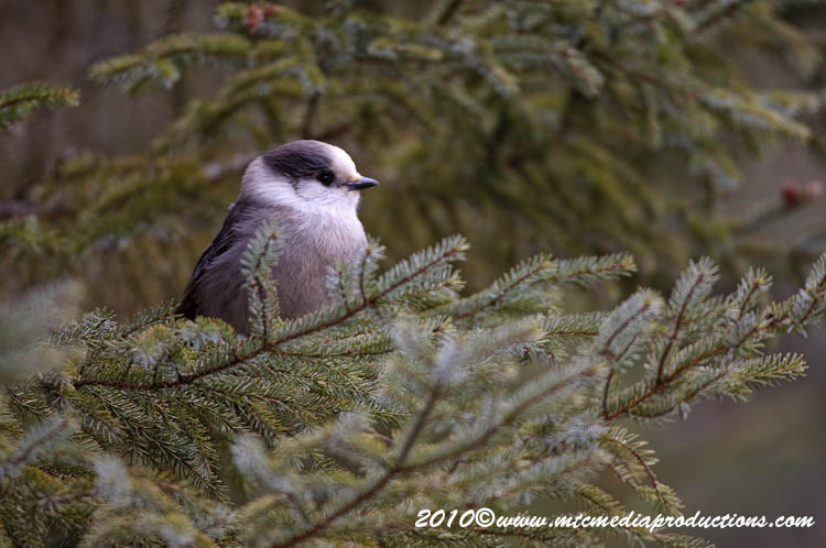 Gray Jay Picture-125