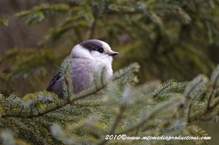Gray Jay Picture-126