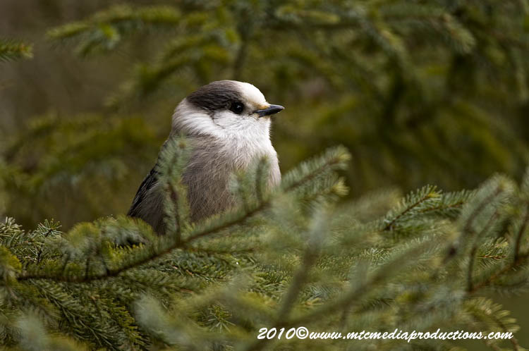 Gray Jay Picture-127