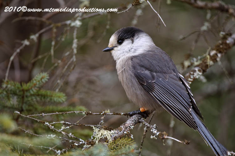 Gray Jay Picture-128