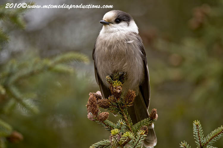 Gray Jay Picture-129