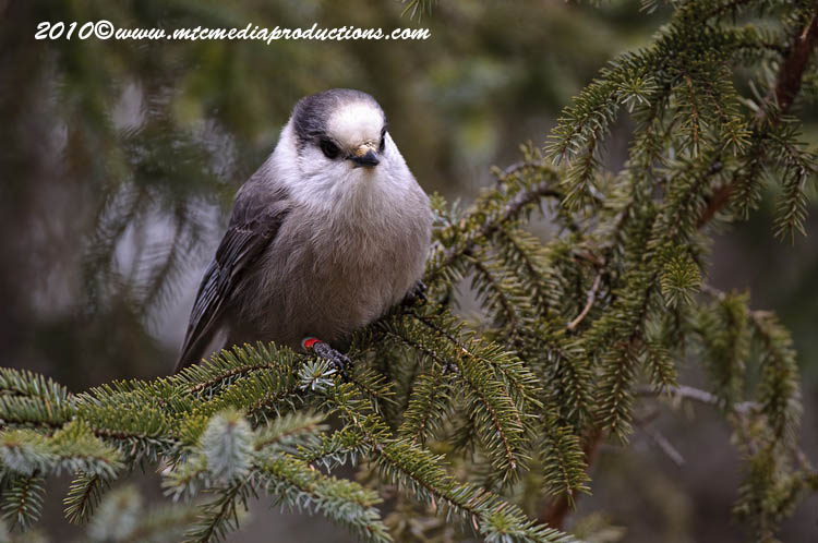 Gray Jay Picture-130
