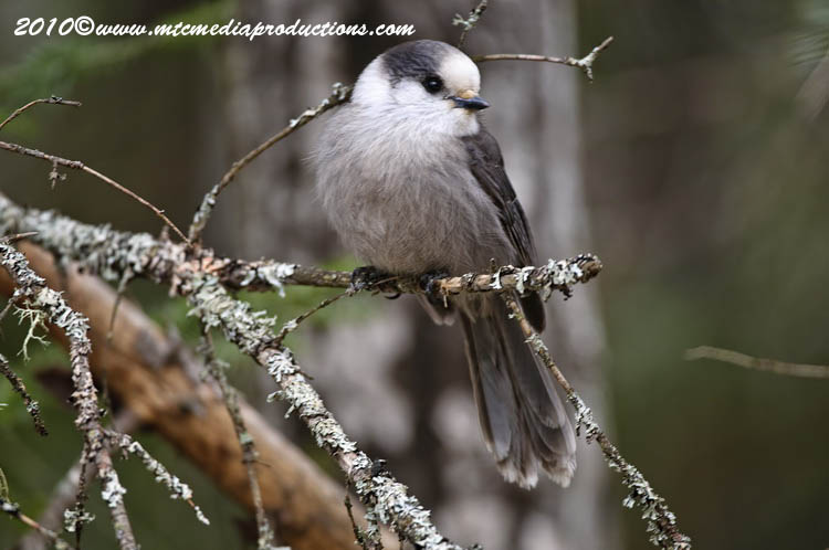 Gray Jay Picture-131