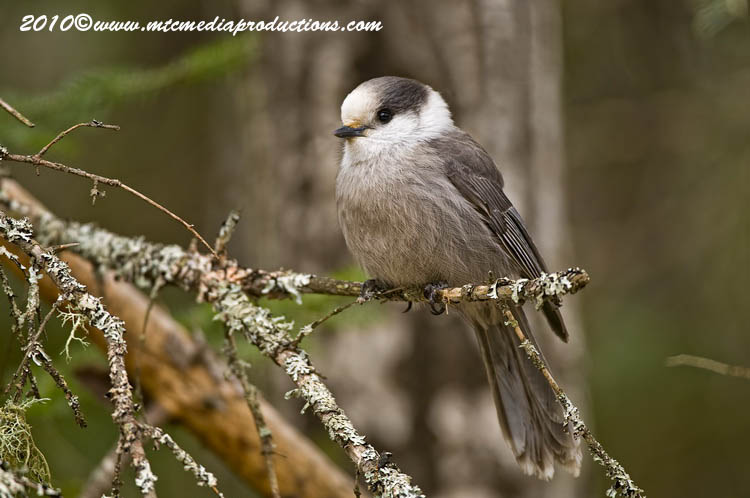 Gray Jay Picture-132