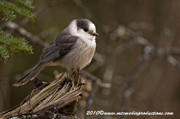 Gray Jay Picture-133