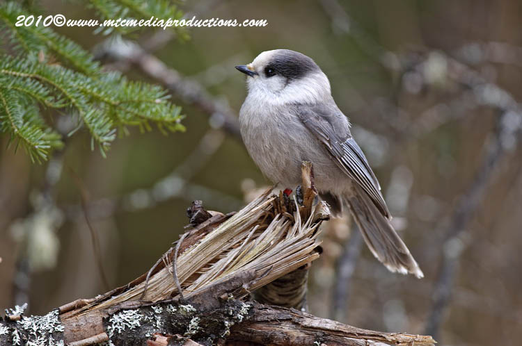 Gray Jay Picture-134