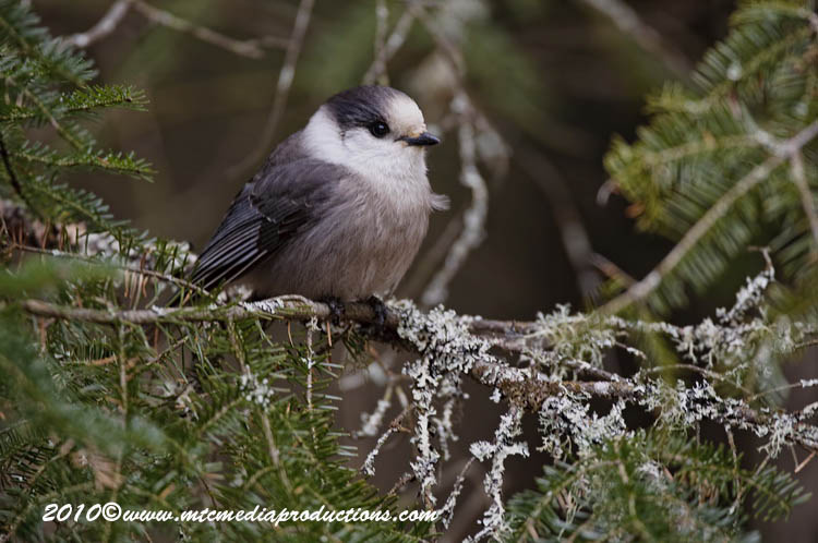 Gray Jay Picture-135