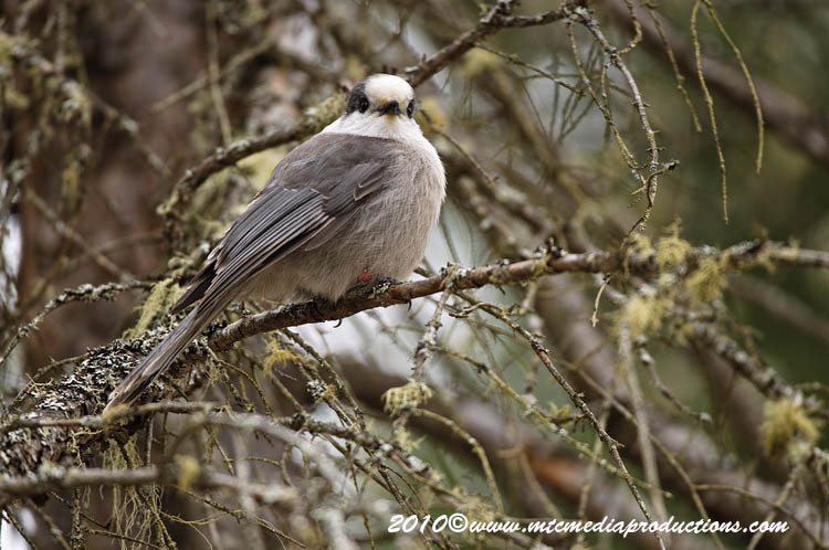 Gray Jay Picture-136