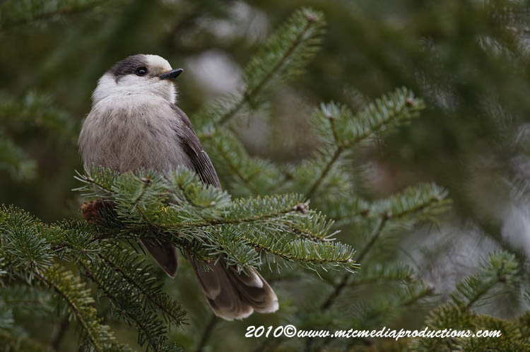Gray Jay Picture-137