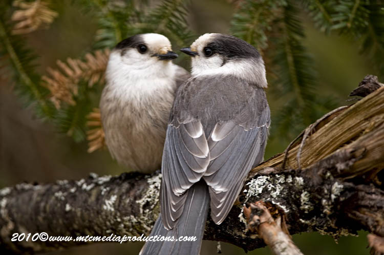 Gray Jay Picture-138