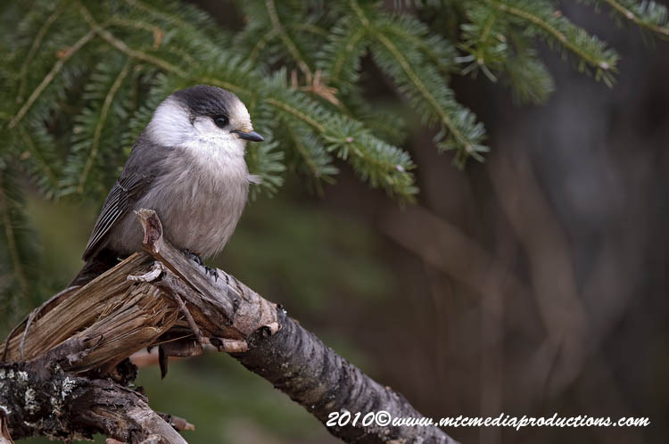 Gray Jay Picture-139