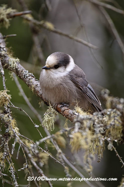 Gray Jay Picture-140