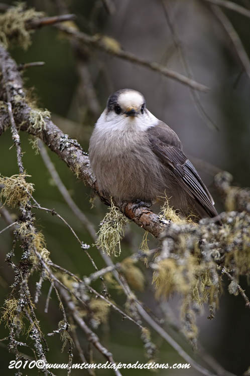 Gray Jay Picture-141