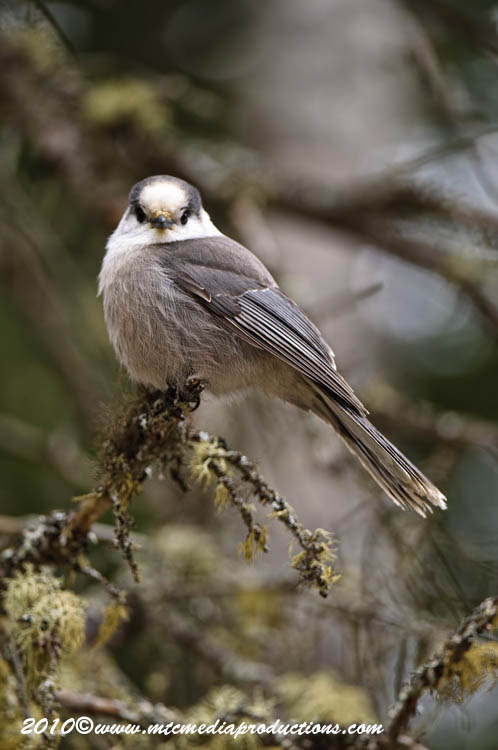 Gray Jay Picture-142