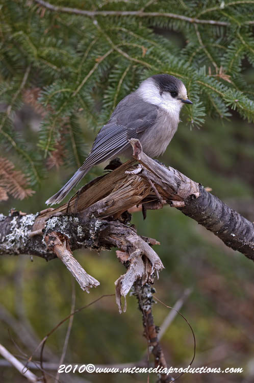Gray Jay Picture-143