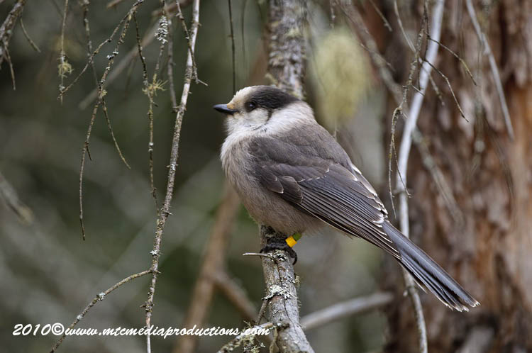 Gray Jay Picture-144