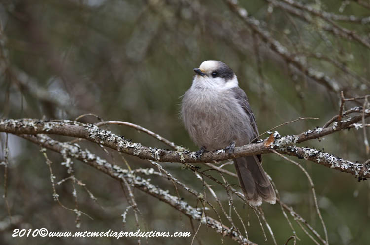 Gray Jay Picture-145