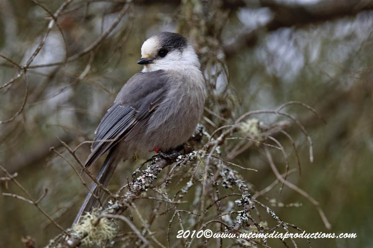 Gray Jay Picture-146