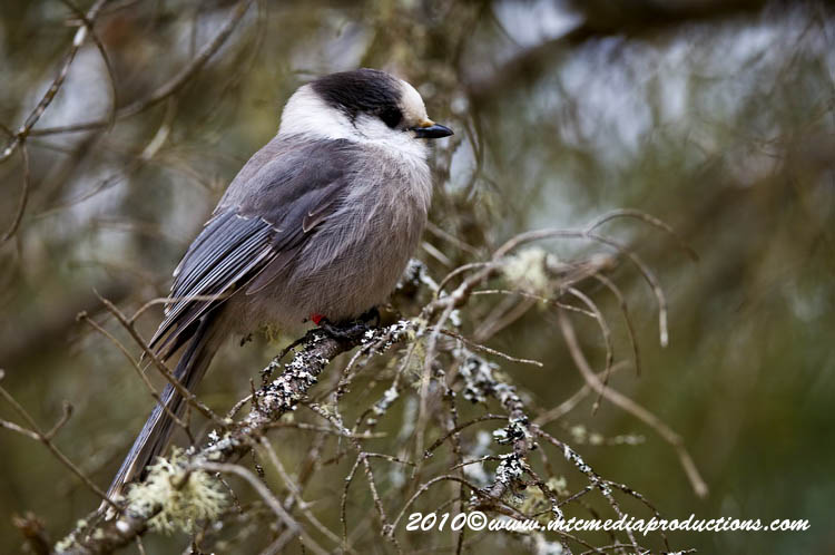 Gray Jay Picture-147