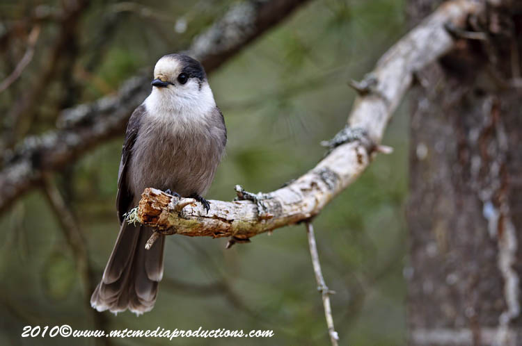 Gray Jay Picture-148
