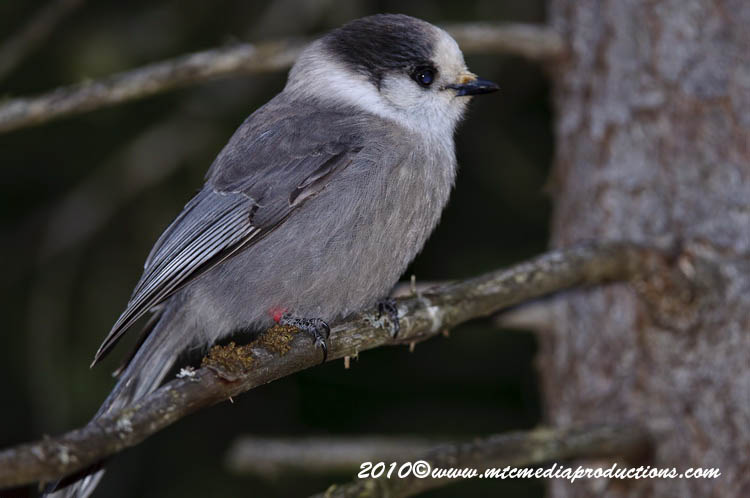 Gray Jay Picture-149