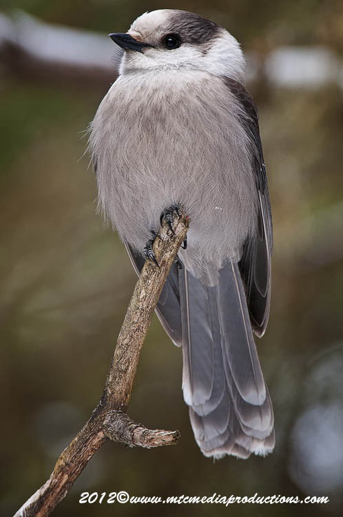 Gray Jay Picture-150
