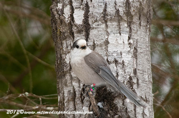 Gray Jay Picture-151