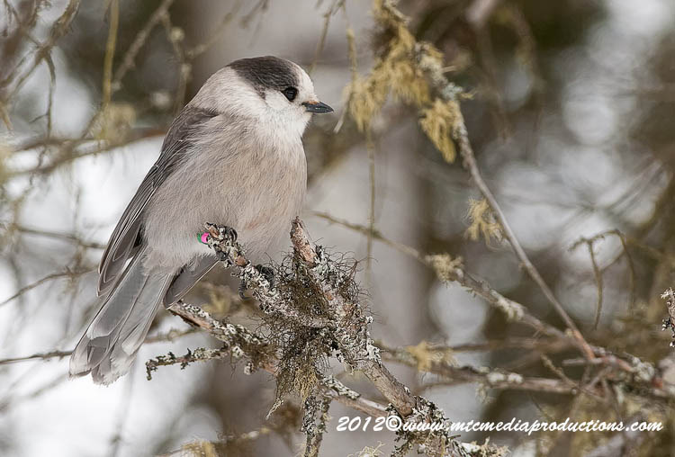 Gray Jay Picture-153