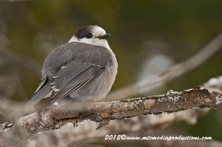 Gray Jay Picture-155