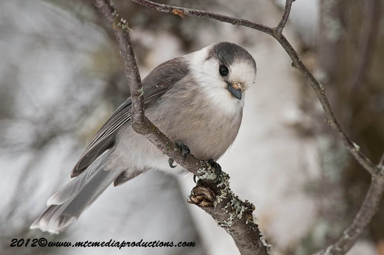 Gray Jay Picture-158