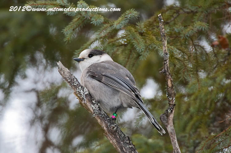 Gray Jay Picture-159