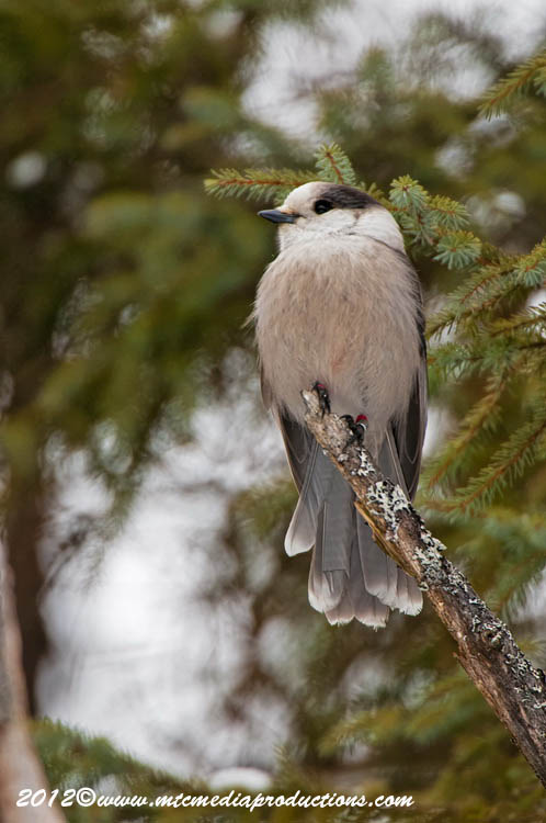Gray Jay Picture-160