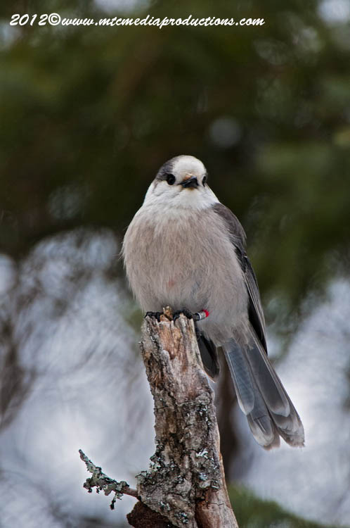 Gray Jay Picture-161