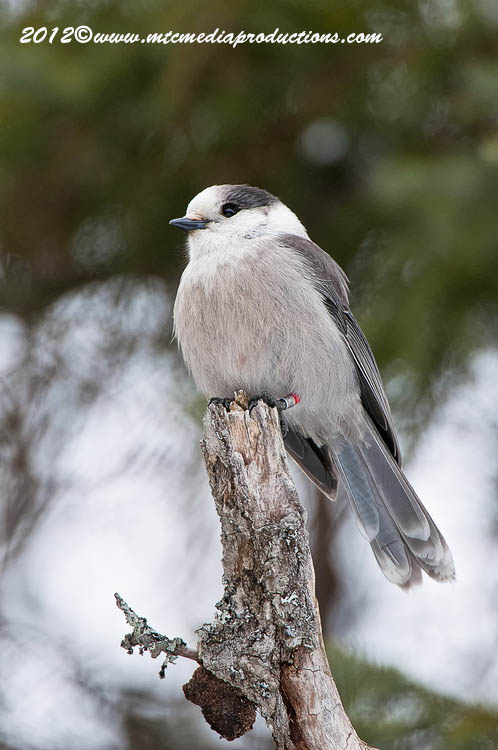 Gray Jay Picture-162