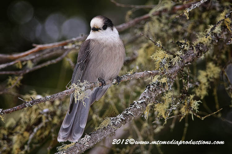 Gray Jay Picture-163