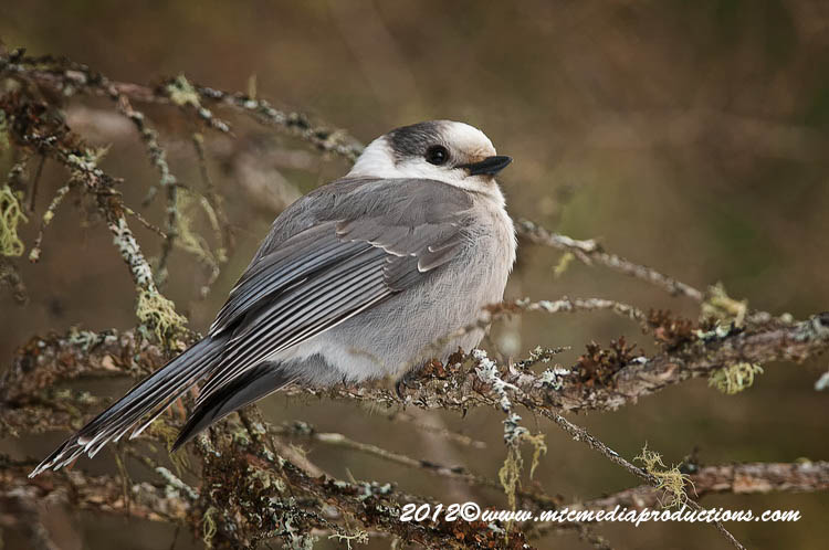 Gray Jay Picture-164