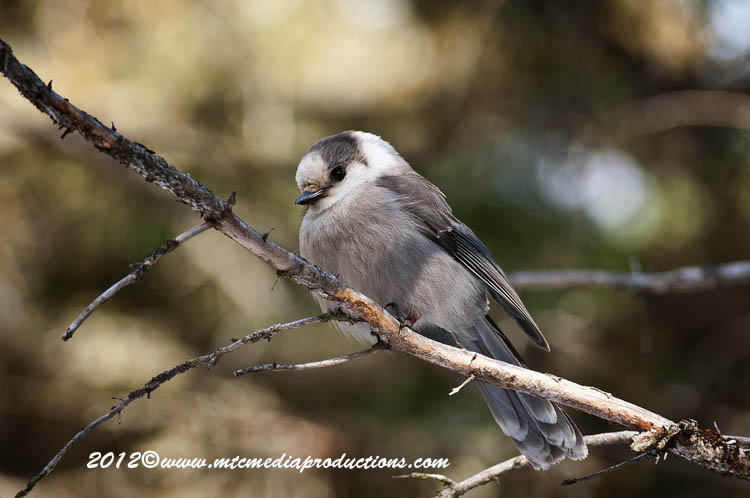 Gray Jay Picture-166