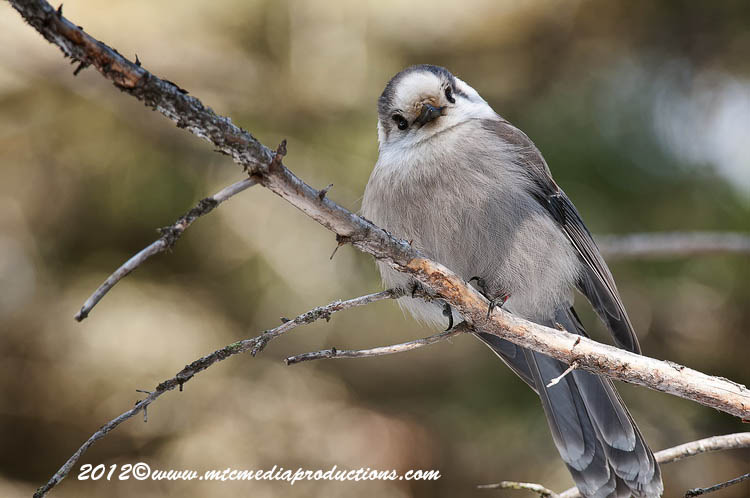 Gray Jay Picture-167