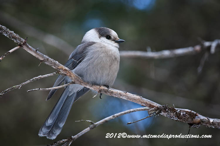 Gray Jay Picture-168