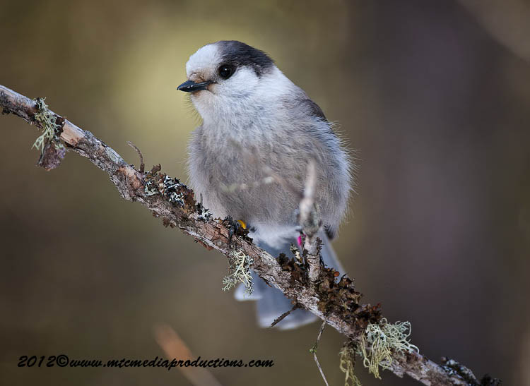 Gray Jay Picture-169