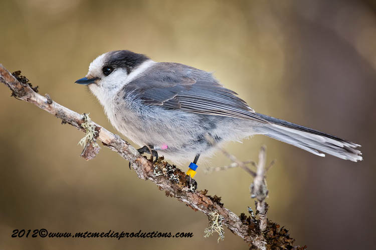 Gray Jay Picture-170