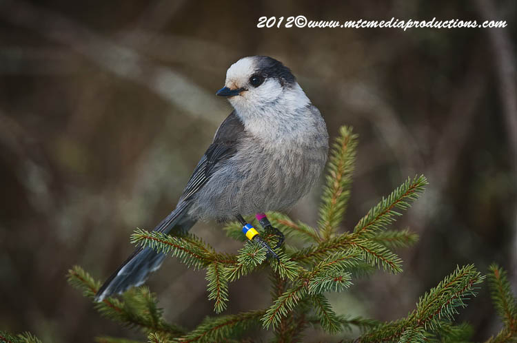 Gray Jay Picture-171